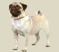 Brindle Pugs For Sale Oregon | Dog Breeds Picture