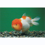 Assorted Lion Head Goldfish