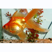 Assorted Fantail (goldfish)